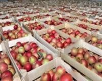 Alternativna tržišta spas za jabuku