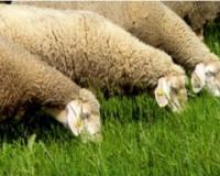 Zelena kabasta hraniva u ishrani ovaca
