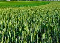 Izrazita i dugotrajna suša odraziće se na prinos