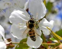 SPREČITI TROVANJE PČELA