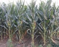 Na Novosadskoj berzi sklopljeni prvi kupoprodajni ugovori za kukuruz ovogodišnjeg roda