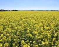 Cena soje na istorijskom maksimumu - 85,50 din/kg, potpisan ugovor za terminsku prodaju uljane repice
