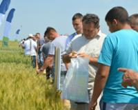 U srednjem Banatu očekuju niži prinos pšenice