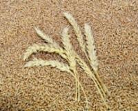 Ponovo izvoz srpske pšenice u Egipat posle 30 godina