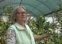 Plantaže šljive zamenili plantažom limuna
