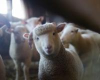 Dan ovčara na novosadskom Poljoprivrednom fakultetu