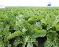 Ovogodišnji prinosi šećerne repe će zadovoljiti potrebe tržišta