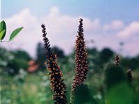 Bagremac – izvor najkvalitetnijeg polena