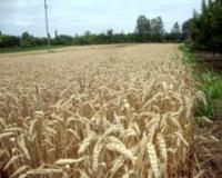 Kiše odlažu žetvu pšenice u opštini Alibunar