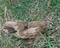 Hitna istraga namernog trovanja zaštićenih ptica i životinja