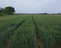 San o dobroj ceni pšenice