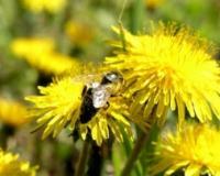 Divlji insekti efikasniji oprašivači od pčela