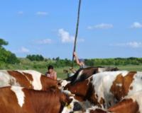 Krave teško podnose vrućinu