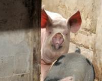 Otkazan Resavski poljoprivredni sajam u Svilajncu