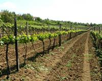 Raspisan Javni poziv za podnošenje zahteva za podizanje višegodišnjih proizvodnih zasada vinove loze, rok za podnošenje od 6. jula do 19. avgusta 2020. godine