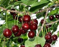 Grad Prokuplje traži rešenje da zaštiti proizvođače voća