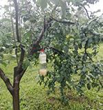 Napada voće s tankom pokožicom i plodovima jarkih boja