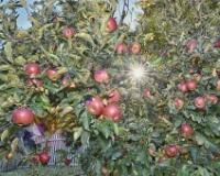 U Srbiji otvorena najveća plantaža organskih jabuka