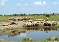 Nevolje ovcara i kozara