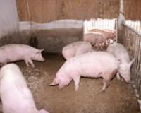 Naredba za sprečavanje širenja afričke kuge svinja
