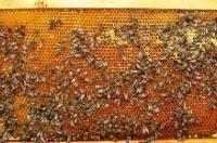 Vrcanje meda