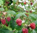 Nove mogućnosti za izvoz voća i povrća iz Srbije u  SAD