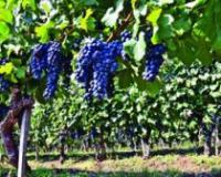 Neophodno i dalje subvencionisati razvoj vinogradarstva