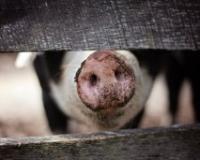 Dan svinjara na novosadskom Poljoprivrednom fakultetu