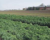 Pšenica u generativnoj fazi razvića