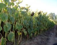 Visoke temperature u Alibunaru najviše pogodile kukuruz