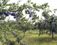 Poziv poljoprivrednim gazdinstvima u Blacu za osiguranje zasada šljive