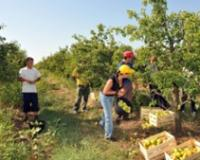 Ubiranje plodova zavisi od namene