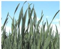 Pšenica po drugi put u sezoni izložena suši