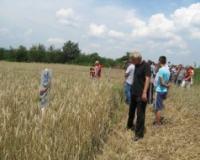 Prinos pšenice u Šumadiji manji za 20 odsto
