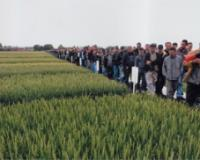 S dana polja strnih žita Novosadskog Instituta za ratarstvo i povrtarstvo