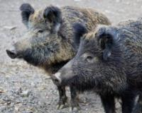 Pojačan odstrel divljih svinja zbog afričke kuge