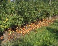 Prvi zdravi plodovi na zemlji – prvi tretman