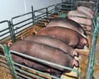 Ponovo otvorena farma tovljenika u Ilincima