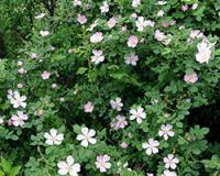 Divlja ruža uspeva na svim zemljištima