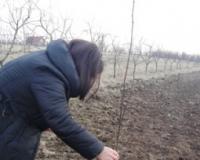 Glodari i divljač pretnja za mlade voćke
