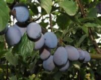 Izvoz voća i povrća u EU još pet godina bez carina