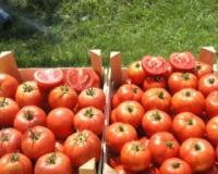 Ministarstvo poljoprivrede najavilo veću otkupnu cenu paradajza