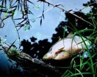 Riba na Krivaji uginula zbog  nedostatka kiseonika