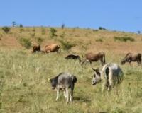 Autohtona rasa buša polako osvaja Staru planinu