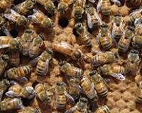 Izrojavanjem u košnici do više meda