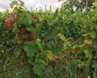 Fitoplazmoza vinove loze