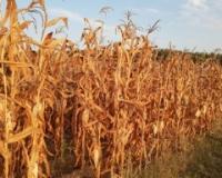 Cena kukuruza nastavila rast