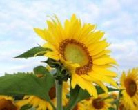 Okupljanje pčelara  u slavu suncokreta