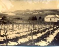 Vinova loza gajena još u doba Rimljana